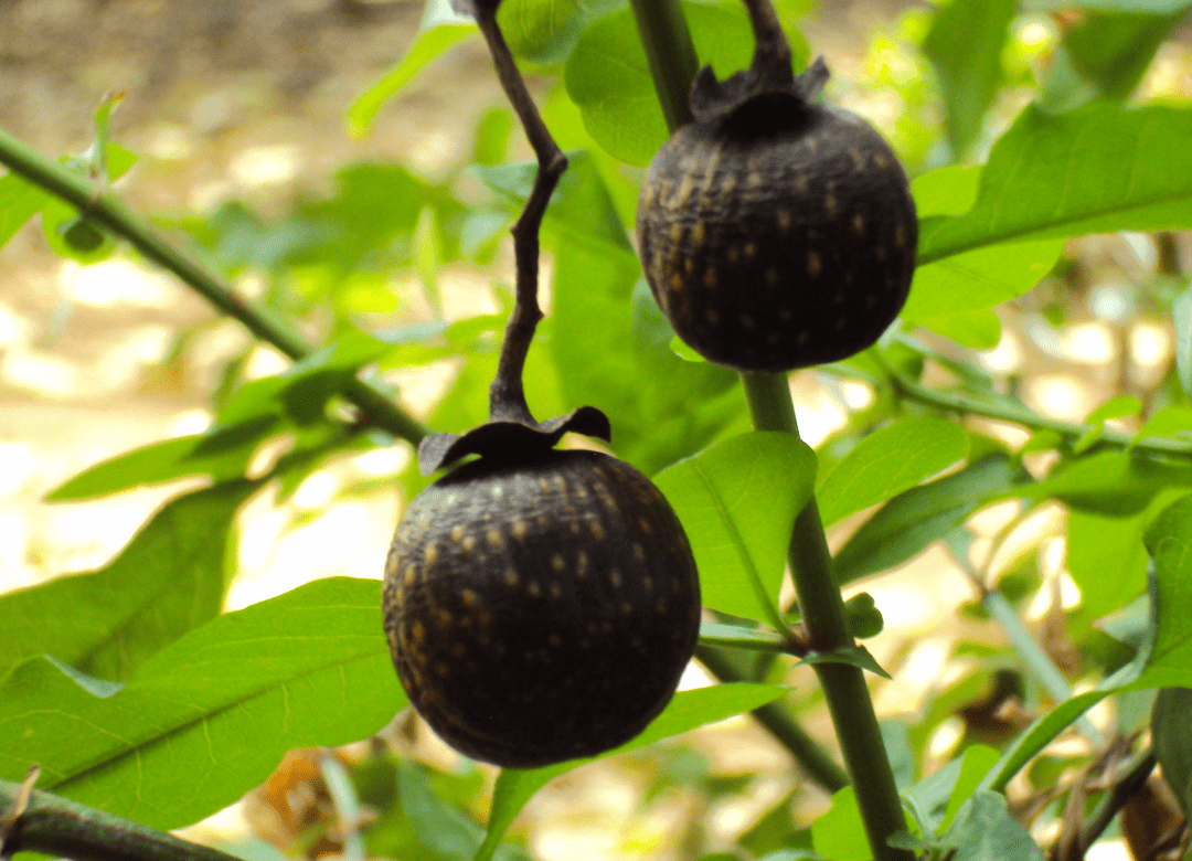 african-plum-bark-extract